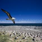 Black-browed Albatross & Colony